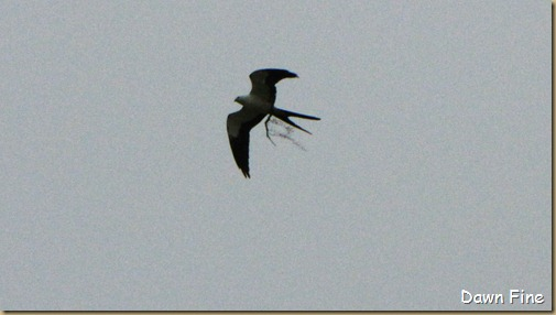 swallowtailed kite_026
