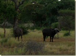 Buffalo Kruger National Park South Africa