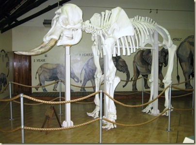 Elephant skeleton Elephant Museum Letaba Rest Camp Kruger National Park Mpumalanga South Africa