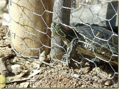 04 Red-eared Slider testing chicken wire pond boundary fence Yarnell AZ (800x600)