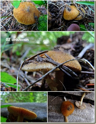 Unknown mushroom Widforss trail North Rim Grand Canyon National Park Arizona