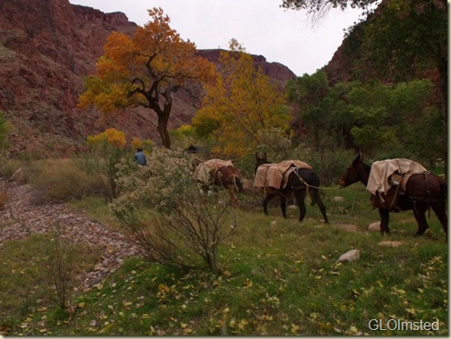 Mule pack train coming into Phantom Ranch Grand Canyon National Park Arizona