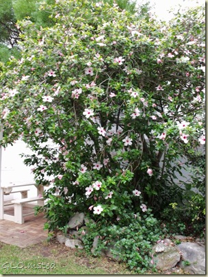 Flowering tree at Anchors Rest B&B Hermanus Western Cape South Africa