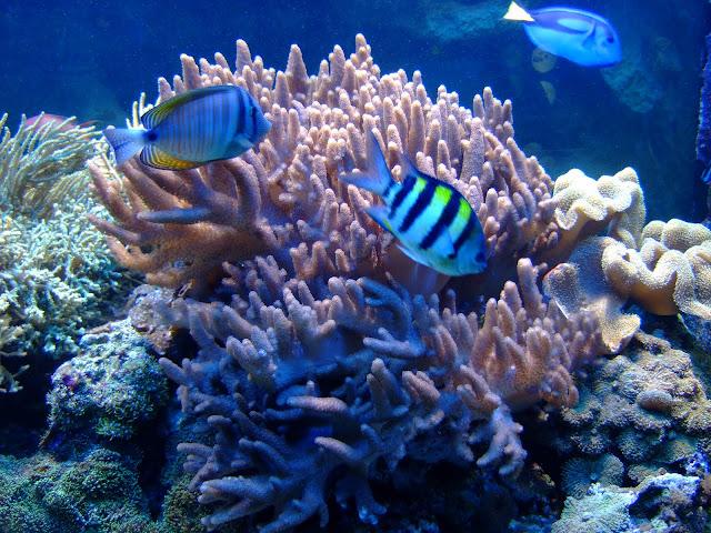 Mieszkańcy rafy koralowej w akwarium nr 23 - m.in.