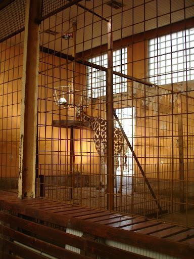 Wnętrze żyrafiarni