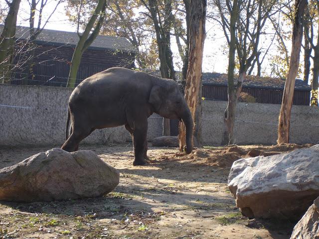 Słoń indyjski - Zoo Płock