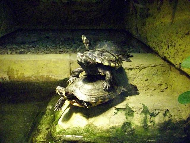 Żółwie żółtobrzuche i kocie