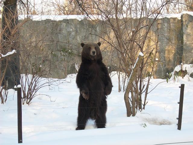 Niedźwiedź jest niewątpliwie zwierzęciem dużym!
