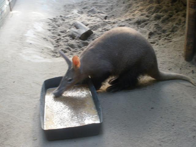 Mrównik spożywający... (fot. kasztanek)