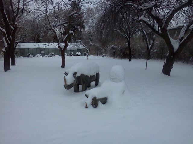 Jedyne nosorożce na świecie, które nic a nic nie robią sobie z takich ilości śniegu.