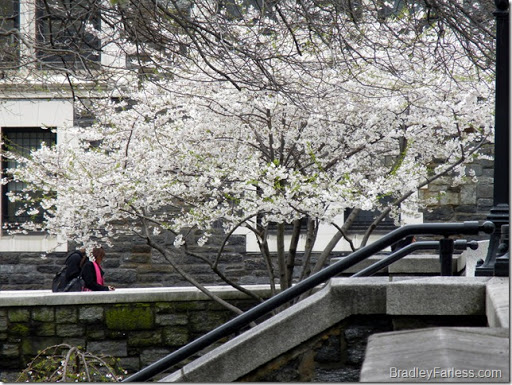 A tree with blooming flowers on CCNY's campus in New York City.