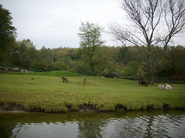 Tapiry na wybiegu!