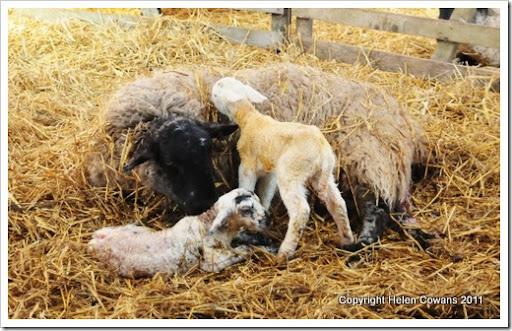 Sheep 320