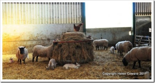 Sheep 359