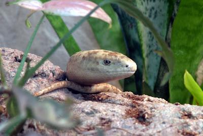 European Glass Lizard