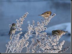 snowbirds_0556_c