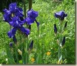 purple irises_1_1