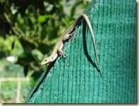lizard on gate_1_1