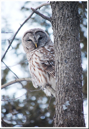 barred owl5