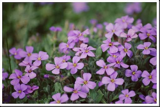 purple ground cover