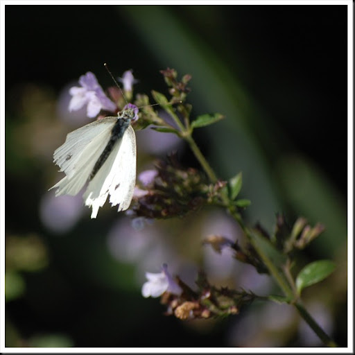 cabbage white torn wing