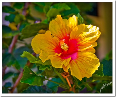 DSC_0122-yellow-hibiscus