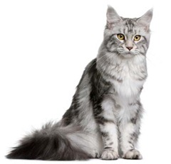 mainecoon (Foto: Dreamstime)