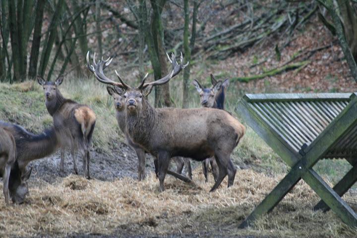 The Deer at the Deer-garden in Haderslev