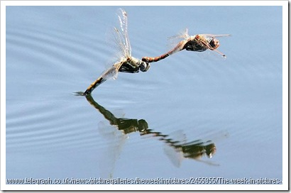 dragonflies mating laying eggs