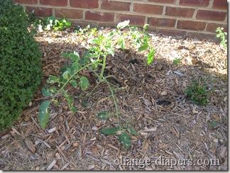 tomato plant sept 4