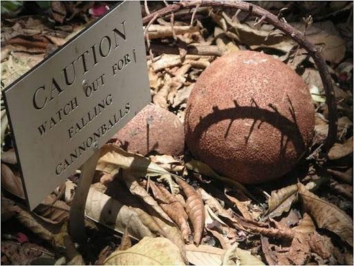 cannonball-tree (3)