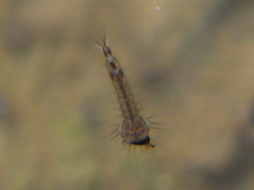 Culicidae, szúnyog lárva, csípőszúnyog, mosquito, Budapest,  vérszívó, blog