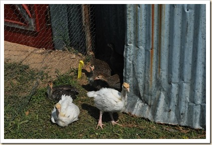 turkeys and guineas