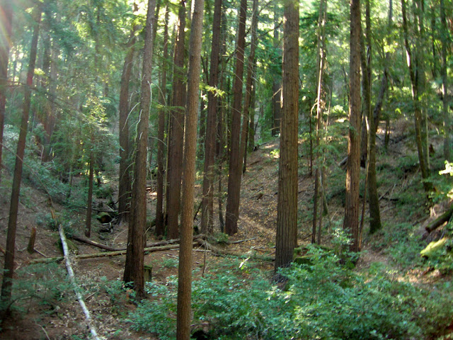 Todd Creek Redwoods at Sanborn Park