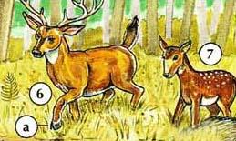 6. ciervos a. pezuña 7. Fawn
