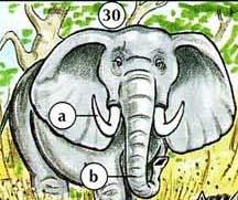 30. gajah a. tusk b. batang