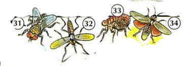 31. fly 32. mosquito 33. flea 34. firefly/ lightning bug