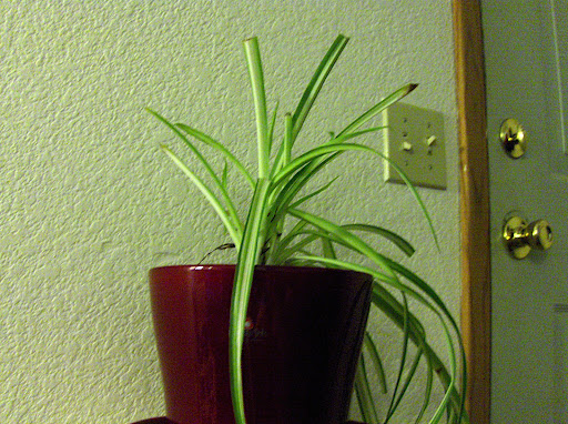 It looks a little sad, because Im a bad houseplant mommy.