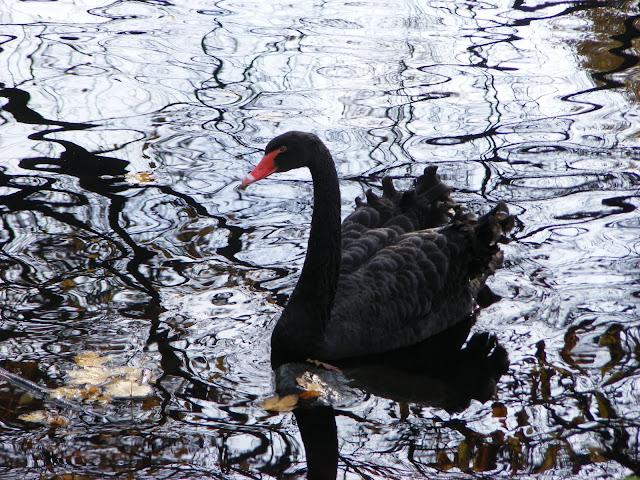 Z kolei łabędzie czarne zdaje się nawet ich nie zauważyły...