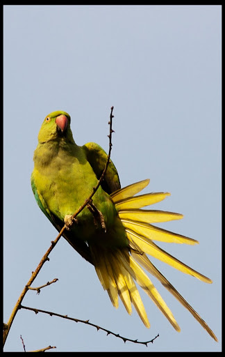 Rose Ringed Parakeet - Giving shot :)