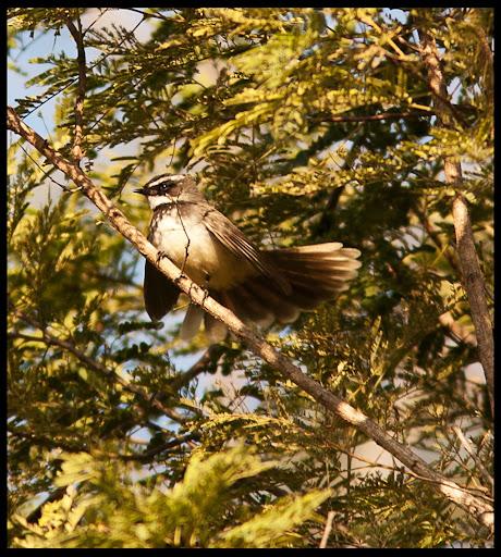 White-Browed Fantail-Flycatcher