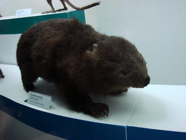 Muzeum Przyrodnicze we Wrocławiu - Wombat tasmański