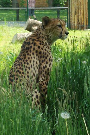 Kto wie, czy gepardy trafiłyby do oliwskiego zoo, gdyby nie pieniądze z darowizn...