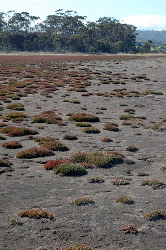 Saltmarsh at South Arm