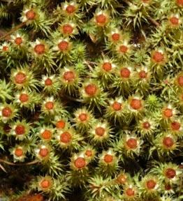 Breutelia affinis