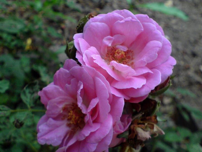 Best pink rose