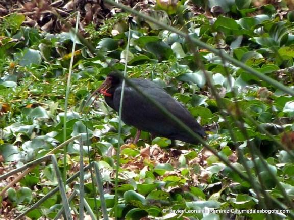 Ibis cara roja (Phimosus infuscatus)
