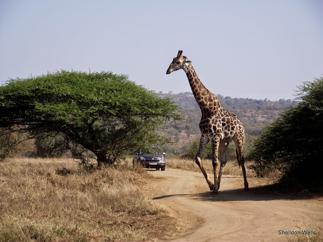 giraffe crossing the road at hluhluwe imfolozi game reserve, durban