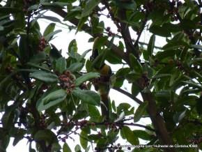 Tucán en arbol de arrayán