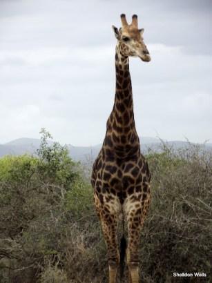 giraffe posing in Hluhluwe Imfolozi Game Reserve